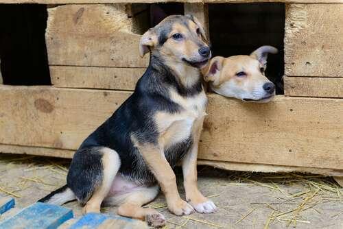 Estas razas de perros están en peligro de extinción
